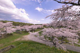 北海道 函館市五稜郭公園の桜の写真素材 [FYI04860141]
