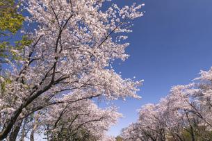 北海道 石狩市の戸田記念墓地公園の桜の写真素材 [FYI04860144]