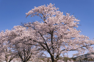 北海道 石狩市の戸田記念墓地公園の桜の写真素材 [FYI04860145]