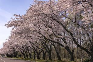 北海道 石狩市の戸田記念墓地公園の桜の写真素材 [FYI04860146]