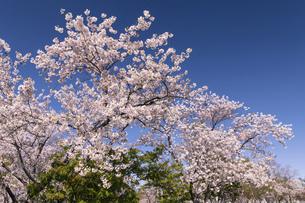 北海道 石狩市の戸田記念墓地公園の桜の写真素材 [FYI04860147]