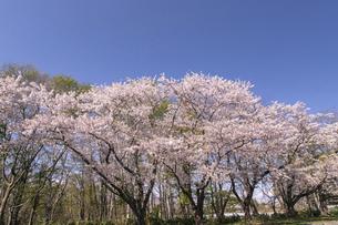 北海道 石狩市の戸田記念墓地公園の桜の写真素材 [FYI04860148]