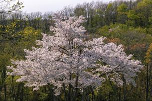 北海道 石狩市の戸田記念墓地公園の桜の写真素材 [FYI04860149]