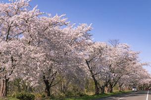北海道 石狩市の戸田記念墓地公園の桜の写真素材 [FYI04860150]