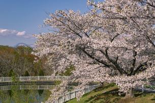 北海道 石狩市の戸田記念墓地公園の桜の写真素材 [FYI04860151]