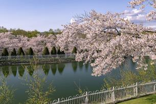 北海道 石狩市の戸田記念墓地公園の桜の写真素材 [FYI04860152]