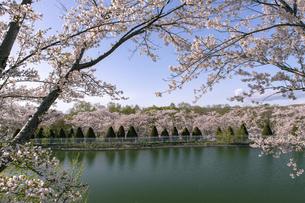 北海道 石狩市の戸田記念墓地公園の桜の写真素材 [FYI04860155]