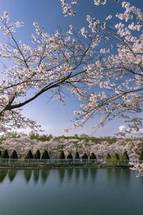 北海道 石狩市の戸田記念墓地公園の桜の写真素材 [FYI04860156]
