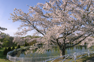 北海道 石狩市の戸田記念墓地公園の桜の写真素材 [FYI04860159]