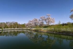 北海道 石狩市の戸田記念墓地公園の桜の写真素材 [FYI04860160]