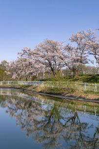 北海道 石狩市の戸田記念墓地公園の桜の写真素材 [FYI04860161]