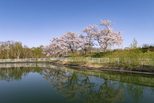 北海道 石狩市の戸田記念墓地公園の桜の写真素材 [FYI04860162]