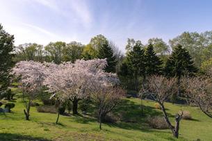 北海道 石狩市の戸田記念墓地公園の桜の写真素材 [FYI04860163]
