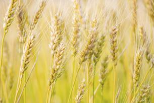 【農業】麦の穂の写真素材 [FYI04860165]