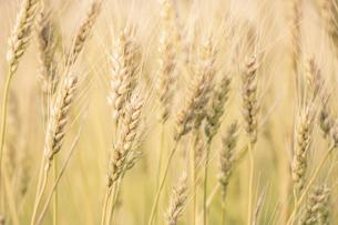 【農業】麦の穂の写真素材 [FYI04860166]