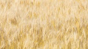 【農業】麦の穂の写真素材 [FYI04860208]
