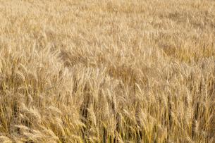 【農業】麦の穂の写真素材 [FYI04860210]