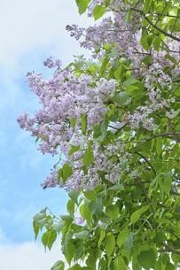 ライラックの花・カリフォルニアローズの写真素材 [FYI04860900]