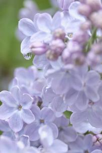 ライラックの花・デュワイトDアイゼンハワーの写真素材 [FYI04860901]