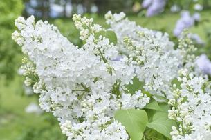 ライラックの花・アロイスの写真素材 [FYI04860902]