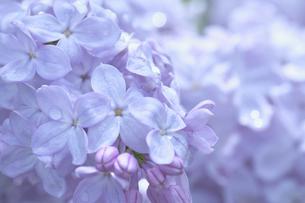 ライラックの花・ブランチスイートの写真素材 [FYI04860903]