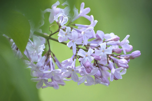 ライラックの花・カリフォルニアローズの写真素材 [FYI04860904]