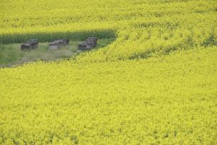 安平町の菜の花畑と養蜂箱の写真素材 [FYI04860906]