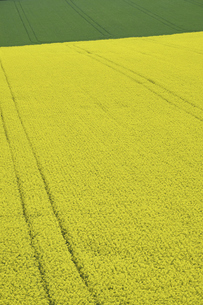 安平町の菜の花畑の写真素材 [FYI04860908]