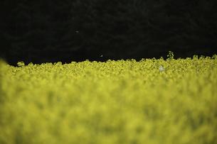 安平町の菜の花畑とモンシロチョウの写真素材 [FYI04860911]