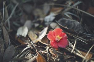 枯葉の地面に落ちた椿の赤い花の写真素材 [FYI04860971]