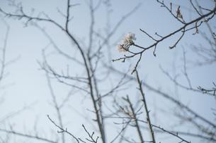 下から見上げた咲き始めの桜の花と青空の写真素材 [FYI04860981]