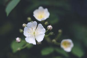 野山の野草 - 白いノイバラの花の写真素材 [FYI04860983]