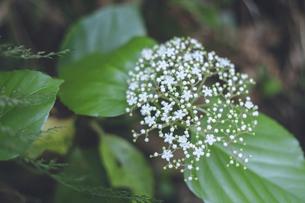 鹿児島県の日本100名山、開聞岳の山道で見つけた山の紫陽花の写真素材 [FYI04860986]