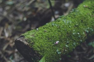 鹿児島県の日本100名山、開聞岳の山道の苔生した倒木の写真素材 [FYI04860998]
