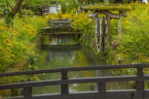 松尾大社 ヤマブキの写真素材 [FYI04861303]