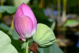 草津市立水生植物公園みずの森,ハスのつぼみの写真素材 [FYI04861467]