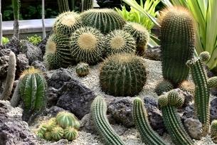 草津市立水生植物公園みずの森,サボテンの写真素材 [FYI04861468]