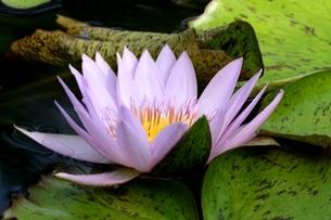 草津市立水生植物公園みずの森,スイレンの花の写真素材 [FYI04861469]