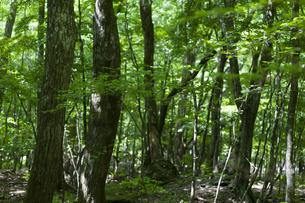 新緑の森林の中の写真素材 [FYI04861478]