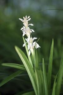 山野草・ノシランの花の写真素材 [FYI04861728]