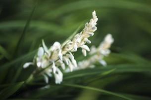 山野草・ノシランの花の写真素材 [FYI04861729]