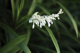 山野草・ノシランの花の写真素材 [FYI04861730]