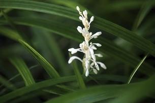 山野草・ノシランの花の写真素材 [FYI04861731]