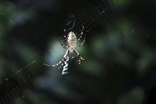 昆虫・ジョロウグモの写真素材 [FYI04861734]