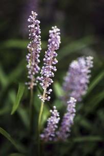 山野草・ヤブランの花の写真素材 [FYI04861774]