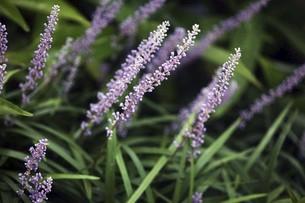 山野草・ヤブランの花の写真素材 [FYI04861775]