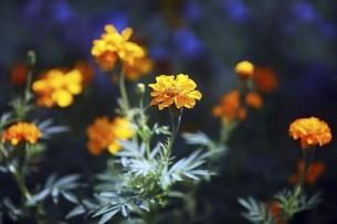 マリーゴールドの花の写真素材 [FYI04861779]