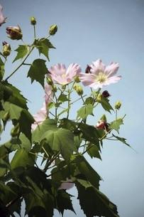 フヨウ・ピンク色の花の写真素材 [FYI04861785]