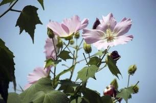 フヨウ・ピンク色の花の写真素材 [FYI04861786]