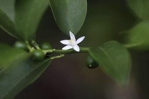 キンカンの花と青い実の写真素材 [FYI04861789]